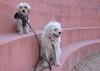 Sweeties (suenosdeuomi) Tags: isabella sumo dogs railyard redrocks santafe newmexico canons90