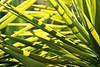 Yucca (AndyM.) Tags: canon tijuana rebel xsi 55250mm nature plants eos mexico yukka