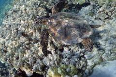 hawaiian green sea turtle: Chelonia mydas (kris.bruland) Tags: hawaiiangreenseaturtlechelonianmydas cheloniidae cheloniamydas kahaluubeachpark hawaiiangreenseaturtle greenturtle blackturtle pacificgreenturtle turtle honu kailuakona kona northkona keahou westhawaii hawaiicounty bigisland coral hawaii hawaiian creature reef pacific ocean scuba sea snorkel underwater snorkeling tropical dive diver diving ecology ecosystem environment environmental fish krisbruland ichthyology ichthyologist island islands marine nature organism outdoor saltwater science undersea vertebrate water zoology life sandwich animal aquatic biology