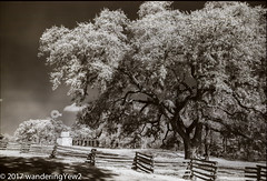 LBJ State/National Historical Park (infrared) (wanderingYew2 (thanks for 3M+ views!)) Tags: 120 6x9 fuji6x9 fujigw690 lbjnationalhistoricalparknationalhistoricalpark lbjstatehistoricalpark r72filter farm fence film filmscan infrared infraredfilm mediumformat