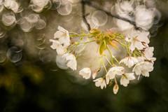 Always hope (hploeckl) Tags: diaplan pentacon bokeh trioplan projectionlens spring blossom blossoms light bubble bubbles vintage