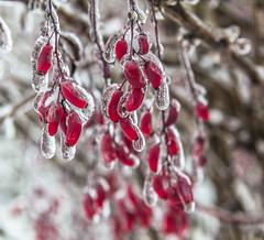 Frozen (SvetNickol) Tags: winter frozen ice berries icecovered