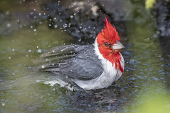 Splish splash (Peter Stahl Photography) Tags: redcrestedcardinal cardinal hawaii maui wailea