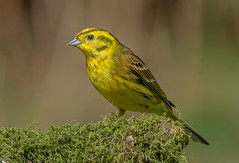 DSC4059  Yellowhammer.. (jefflack Wildlife&Nature) Tags: yellowhammer birds avian animal wildlife wildbirds woodlands farmland finches finch songbirds heathland hedgerows moorland meadows countryside nature