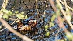 Mandarinente (Martin Hartwig) Tags: reflections reflexion spiegelungen spiegelung ente duck mandarinente aix galericulata natur nature wasser water teich pond pool mandarin