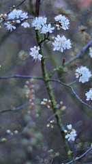 prunus spinosa in evening light   I (pancolar user) Tags: prunus spinosa schlehe weiss white pancolar 14 50mm blackthorn