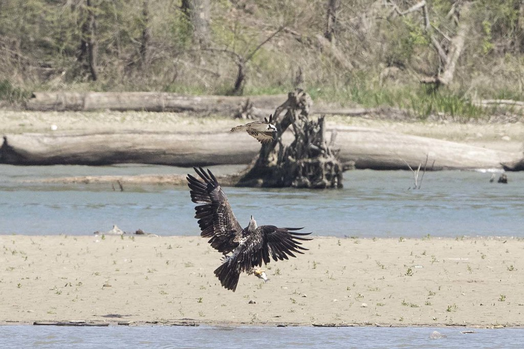 The world 39 s best photos of baldeagle and indiana flickr for Indiana fish farms