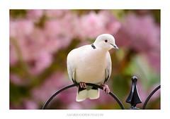 Collared Dove (Amar Sood) Tags: amarsoodphotocom amarsoodphotography nikon d800 d800e vscofilm vsco wildlife birds bird tamron 70200 7020028 fullframe nature kodakgold200