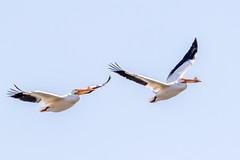 American White Pelican (Glenn R Parker) Tags: americanwhitepelican pelicans