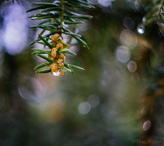 Helios bokeh (Don White (Burnaby)) Tags: 10mm centralpark extensiontube flowersplants helios44m macro bokeh yew