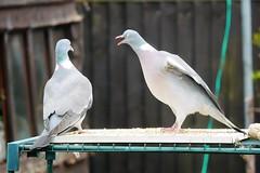 21 April 2017 (13) (AJ Yakstrangler) Tags: yakstrangler pigeon pigeons