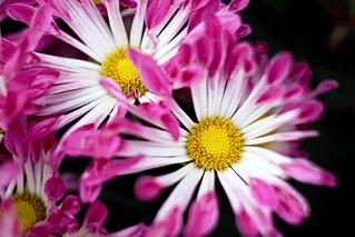 爭艷   Flowers blooming