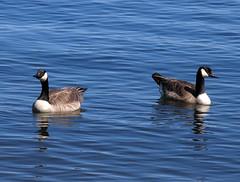 Geese (BenG94) Tags: geese arborvitae bigarborvitaelake lake canon powershotpro1 wisconsin northwoods