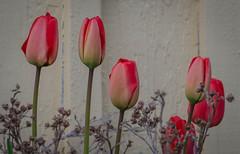 Tulips (frankmh) Tags: plant flower tulip lerberget höganäs skåne sweden outdoor