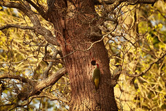 House Hunting (Nickerzzzzz - Thanks for stopping by :)) Tags: ©nickudy nickerzzzzz theartofphotography canoneos70d ef100400mmf4556lisiiusm photograph bird beak wildlife wings nature feathers animal outdoor picusviridis greenwoodpecker nest pair mate male female