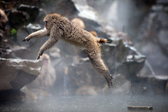 Japanese Macaque mid leap (Mikey Down Under) Tags: japan jigokudani snow monkey park onsen yudanaka central honshu nagano prefecture koen japanese macaque leap leaping jumping water takingoff cold rain raining steam action canon 5d mkii ef70200mm f28l