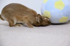 Ichigo san 671 (Ichigo Miyama) Tags: いちごさん。うさぎ ichigo san rabbit bunny netherlanddwarf brown ネザーランドドワーフ ペット いちご うさぎ