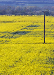 A sea of yellow on an English airfield in Spring (Dave Russell (1.5 million views thanks)) Tags: landscape view vista scene scenery land farm crop rapeseed yellow color colour england uk cambridgeshire peterborough conington business airport egsf great britain gb united kingdom