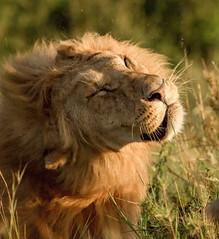 20170319-07-16-49_D509298 -25 VIB (ajm057) Tags: africa andymillerphotolondonuk carnivoracarnivorans entimcamp felidaecats kenya lion pantheraleo mammal masaimaranationalreserve pantherinae reservesparks suborderfeliformia nikond5 nikon400mmf28efl africanlions