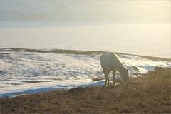 (Kirill & K) Tags: bannoye spring nature southernurals horse light sunlight sunset evening snow grass white банное март весна природа южныйурал лошадь белая свет вечер закат трава озеро снег
