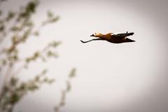 Rusty in Flight (RGaenssler) Tags: entenvögel halbgänse rostgans eigentlichehalbgänse bif vögel tiere gänsevögel wirbeltiere birdinflight kasarkas floraundfauna anatidae anseriformes aves ruddyshelduck tadorna tadornaferruginea tadornecasarca tadorninae tadornini