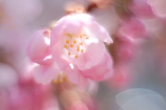 Harumeki Sakura / 春めき桜 (Hideo N) Tags: nature sakura cherryblossoms 桜 春めき桜 summilux xt1 fantasticflower