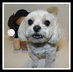 1st Day Of Baseball Season And Bella Is Already Arguing With The Umpire. (marilyntunaitis) Tags: 1stdayofbaseballseason arguing umpire dog pet bella cabbagepatchkid cpk baseball