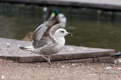 The Karate bird (technodean2000) Tags: karate bird daniel son seagul seagull nikon d610 lightroom uk