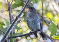 Scaly-breasted Thrasher (sbuckinghamnj) Tags: thrasher scalybreastedthrasher saintlucia stlucia lesserantilles songbird