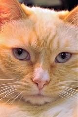 Fat Cat (qorp38) Tags: cat eyes portrait light soft