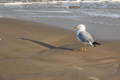 Ring Bill Shadow (WalrusTexas Offline) Tags: gull ringbillgull portaransas beach