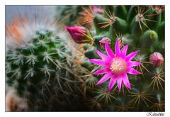 Kaktusblüte - Cactus flower (tom22_allgaeu) Tags: kaktus cactus blüte flower macro makro nahaufnahme nikon nikkor 40mm d7200 nature natur topaz nikfilter nikond7200 frame rahmen