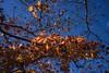Fall (Syahrel Azha Hashim) Tags: autumnseason autumn nature sony 2016 35mm holiday nopeople simple kyoto details a7ii branches ilce7m2 dof sunny season backlight getaway handheld trees colorimage vacation beautiful prime light fallseason naturallight seasonal colorful sonya7 tree travel syahrel shallow yellowleafs colors leafs fall bluesky japan detail