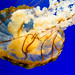 Pacific sea nettle 7 - National Aquarium