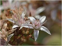 Geldbaum (Crassula ovata) oder Pfenningbaum  . _DSC6417-001