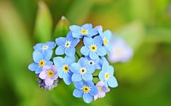 vergeet-mij-nietje - Myosotis (peter.velthoen) Tags: bosvergeetmijnietje myosotis voorjaar lente bostuin noordbrabant kleuren kleur blauw zandgrond macro flower bloemen waldvergismeinnicht myosotissylvatica