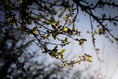 Spring (Gwenaël Piaser) Tags: luxembourg april 2017 avril april2017 luxemburg luxemburgo lussemburgo lëtzebuerg unlimitedphotos gwenaelpiaser canon eos 6d canoneos eos6d canoneos6d fullframe 24x36 reflex rawtherapee 85mm 85mmf18 canonef85mmf18usm ef85mmf18usm ef85mm usm ef85mmusm canonef85mm118usm prime flower fleur tree arbre jardin garden contrejour backlight backlit spring sunny sky feuilles leaves cerisier whiteflower cherrytree bokeh