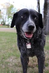 sly lucy (jak.conrad) Tags: lucy twizzler dog dogs rainbowbridge heartbroken rescue pups dogislove mutt
