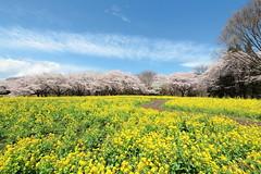 桜と菜の花 (* Yumi *) Tags: 桜 菜の花 昭和記念公園 sakura landscape spring