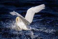 Brace position (stevehimages) Tags: swan splash landing chasewater steve steveh stevehimages wowzers warden west midlands grandpas den grandpasden bird nature 2017