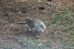 Mourning Dove In Backyard 001 (Chrisser) Tags: birds bird doves dove mourningdoves mourningdove zenaidamacroura nature ontario canada canoneosrebelt6i canonef75300mmf456iiiusmlens columbidae