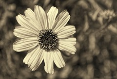 What ant?.... (Joe Hengel) Tags: california ca socal southerncalifornia sanjuancapistrano whatant bw blackandwhite monochrome orangecounty oc outdoor theoc flower spring springtime goldenstate rosenbaumranch trabucocreektrail ant 7dwf
