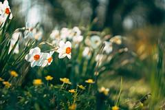 Carl Zeiss Biotar 58mm f/2 M42 (Sorin Mutu) Tags: biotar58mmf2m42 carl zeiss biotar 58mm f2 m42 bokeh spring flowers