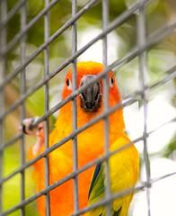 You looking at me? (vinnie saxon) Tags: birds parrot colors portrait bokehlicious bokeh cage nature nikoniste nikon d600