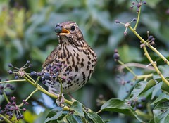 Song Thrush 18-04-2017-8148 (seandarcy2) Tags: thrush song bedfordshire uk