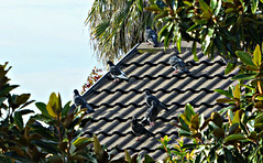 Pigeons (sallyNZ) Tags: scavenger7 elevated pigeons roof green foliage
