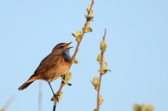 gorgebleue à miroir ( Luscinia svecica ) Erdeven 170408d2 (papé alain) Tags: oiseaux passereaux muscicapidés gorgebleueàmiroir lusciniasvecica bluethraot erdeven morbihan bretagne france
