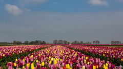 Many different tulip colors (BraCom (Bram)) Tags: bracom tulips tulip tulpen tulp trees bomen sky traffic verkeer lente spring voorjaar landscape landschap agriculture landbouw oudetonge goereeoverflakkee zuidholland nederland southholland netherlands holland canoneos5dmkiii widescreen canon 169 canonef24105mm bramvanbroekhoven nl 郁金香