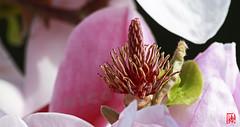 La renaissance du tulipier de Marie-Antoinette (mamnic47 - Over 7 millions views.Thks!) Tags: versailles versailleschateaudeversailles grandcanal domainedemarieantoinette 02042017 canon70200mm