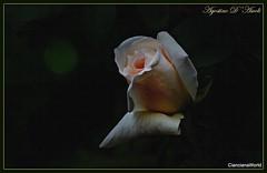 Rosa bianca a Primavera - Aprile-2017 (agostinodascoli) Tags: rosa fiori nature texture cianciana sicilia agostinodascoli macro nikon nikkor nikonclubit